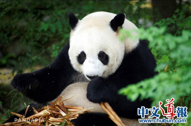 直播中国点亮东京:全球大熊猫家园活动在日启程(组图)