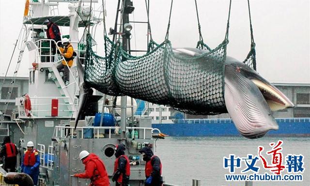 黄文炜:捕鲸的日本人残忍吗