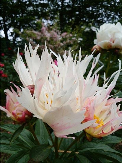 """日本将新品种花卉命名""""令和"""""""